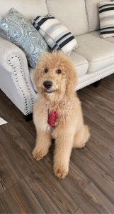 groomed golden doodle smiling and looking at camera