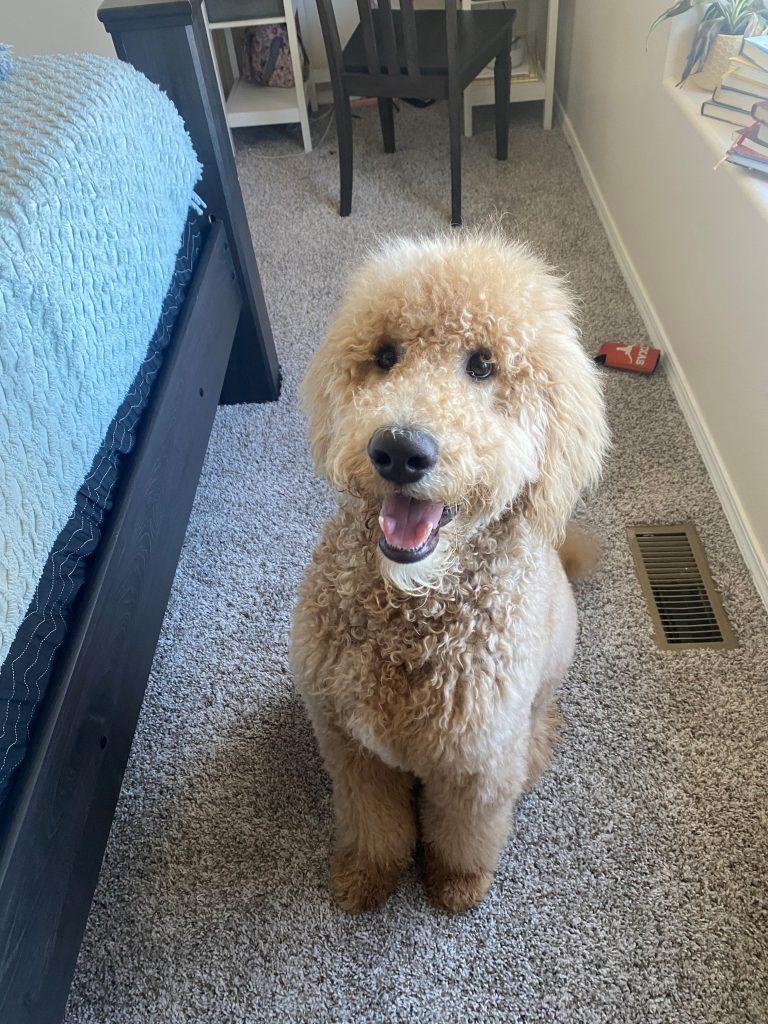 Goldendoodle's Biggest Smile Yet