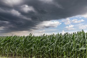 Storm and Corn