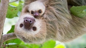A Sloth with its Sloth baby