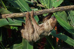 Linnaeus's Sloth