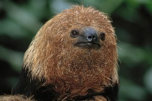 An ugly sloth...cute, but ugly.