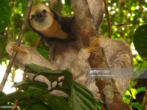 A Pale-Throated Sloth looking chilling in the trees