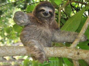 Pygmy Sloth... the cutest sloth.